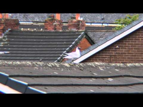 Tern (Black Head Sea Gull) Panasonic G2 + Digital Concepts 3x Adapter Test Video