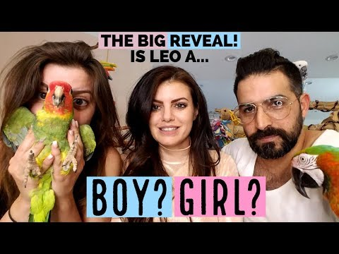 MY PARROT LEO'S EXCITED AT GENDER REVEAL PARTY! | Male or Female Parrot?