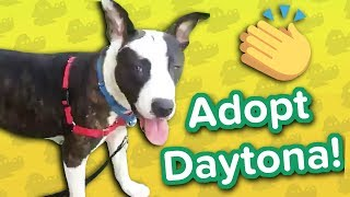 Adopt Daytona // Pitty Mix // Adoptable Featurette