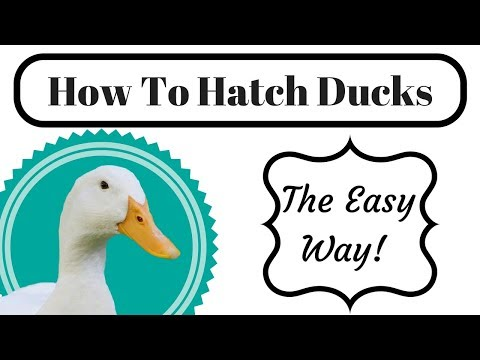 How To Hatch Duck Eggs (Guess The Breed!)