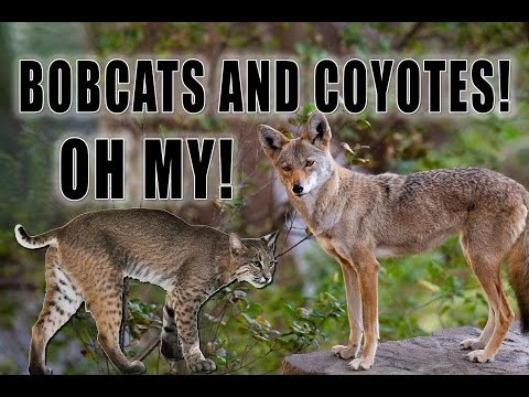Bobcats In Your Yard!