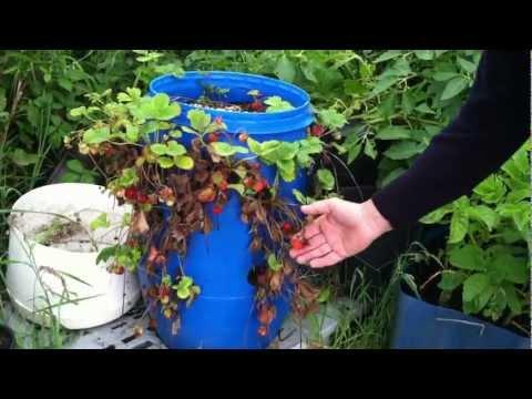 Strawberries Grow in a Plastic Barrel, Ireland