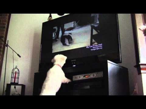 Dog barking at cat on TV - My Cat from Hell show