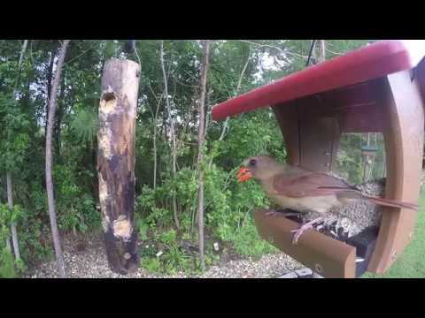 Female Northern Cardinal Eating Sunflower and Safflower