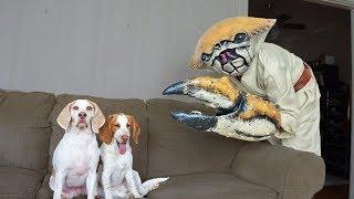 Dogs vs Crab Man Prank: Funny Dogs Maymo & Potpie