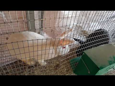 Breeding Rabbits: Joe and Midnight 11/22/17