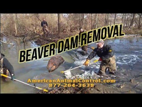 Beaver Dam Busting! Wait for 3:15!!