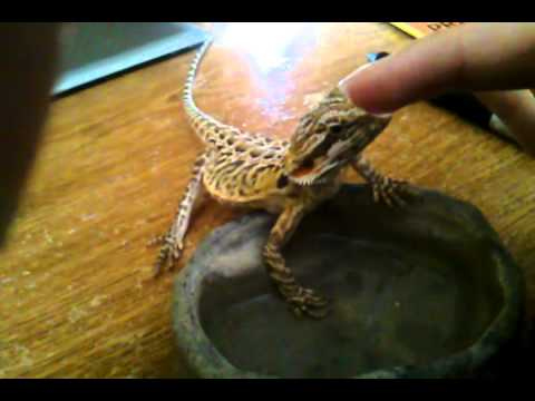 How to get a bearded dragon to drink water