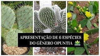 APRESENTAÇÃO DE 6 ESPÉCIES DO GÊNERO OPUNTIA !