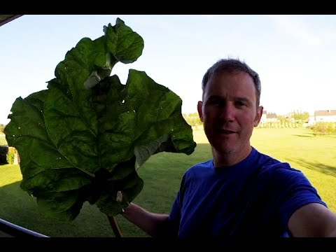 Rhubarb - How to harvest, clean and freeze it