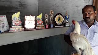 Long tail parrot nose long height aseel big breeding farm
