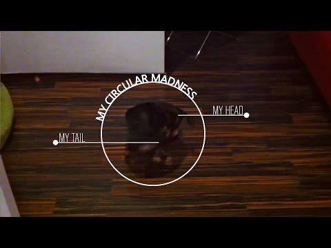The crazy sausage dog - Dachshund mordiendose la cola/bite his tail