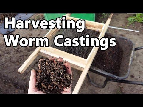 Harvesting Worm Castings and Planting Dahlias