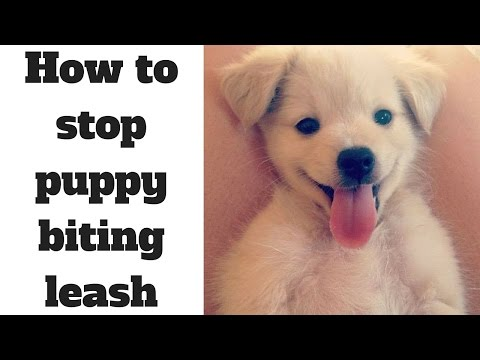 how to stop puppy biting leash