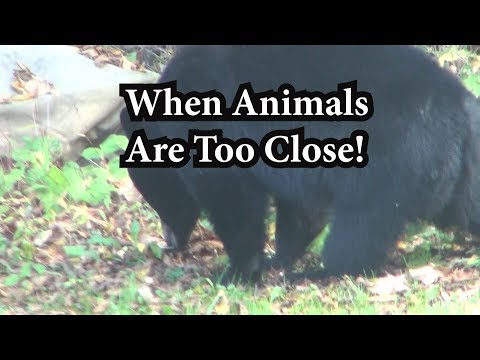 When Bears or Mountain Lions Get Too Close or Attack Humans!