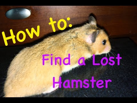 How to Easily Find a Lost Hamster