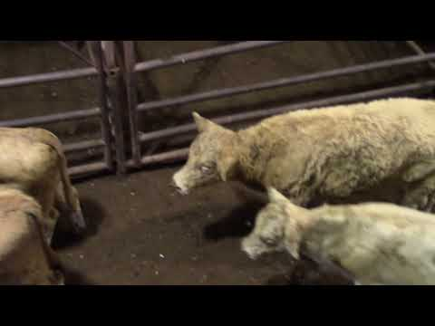 Cattle Auction-Behind The Scenes-Sale Barn