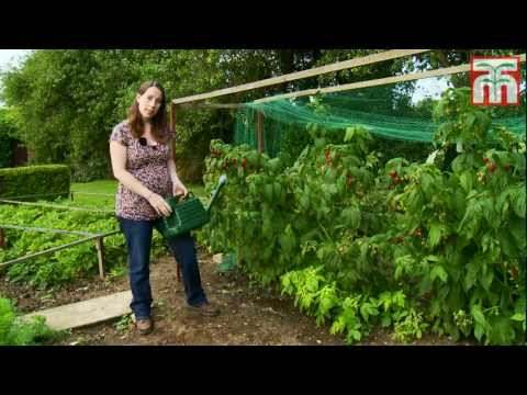 How to grow raspberries with Thompson and Morgan. Part 1: Planting and Caring for your raspberries.