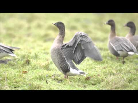 Grey Geese ID Workshop (Revisited)