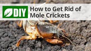 How To Get Rid Of Mole Crickets