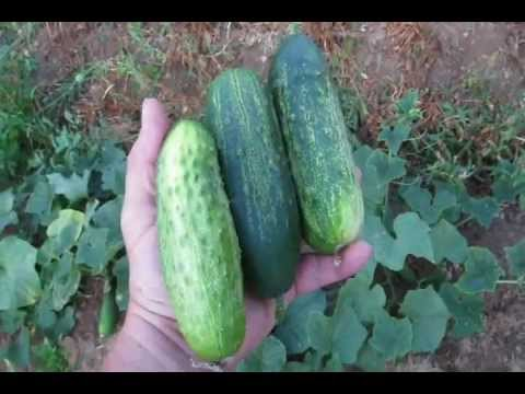 Homemade Pickles: My Favorite Homegrown Cucumber