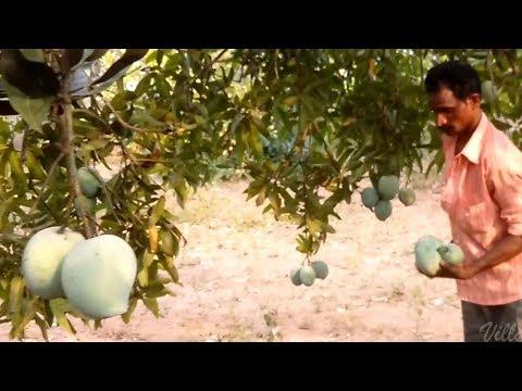 Farm Fresh Mangos Ripe On The Tree   Healthy Village Food   Mango Plant   Mango Tree