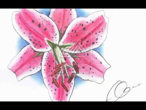 Stargazer Lily  Pictures
