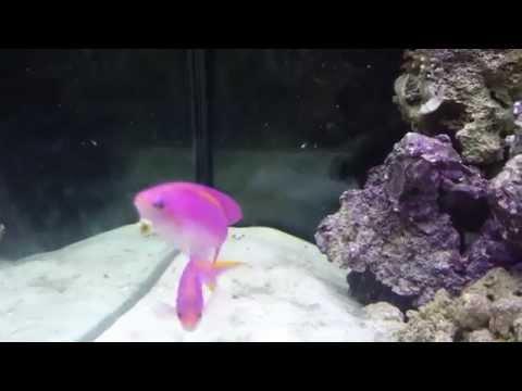 Purple Queen Anthias Fish in 65 gal reef tank