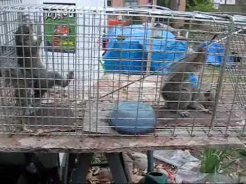 2 Squirrels in a cage again, freaking out!