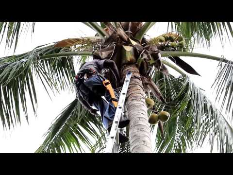 J&J The Tree Doctor Tutorial on Trimming Coconut Trees