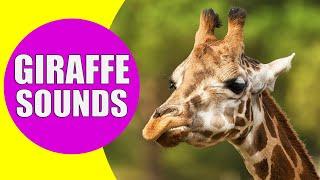 GIRAFFE SOUNDS | Learn Animals with Kiddopedia #Shorts