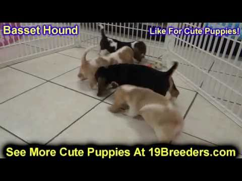 Basset Hound, Puppies, Dogs, For Sale, In Lexington, County