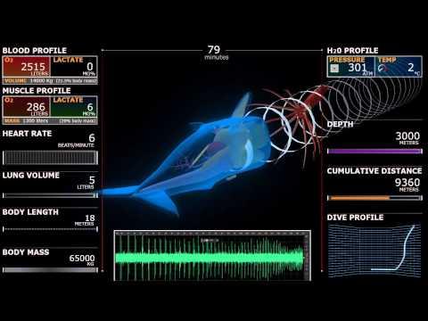 FW 302: Sperm whale dive, 3D simulation