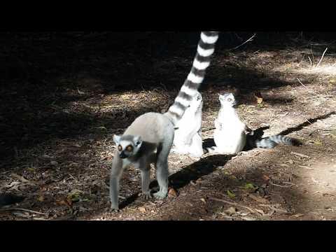 Ring-tail lemurs on file - it's mating season!