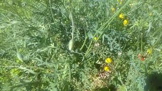 Gelincik çiçeği Otunun Faydaları çayının Yararları Nelerdir Gelincik çiçeği Hikâyesi çayının Faydası