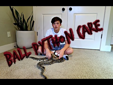 Ball Python care