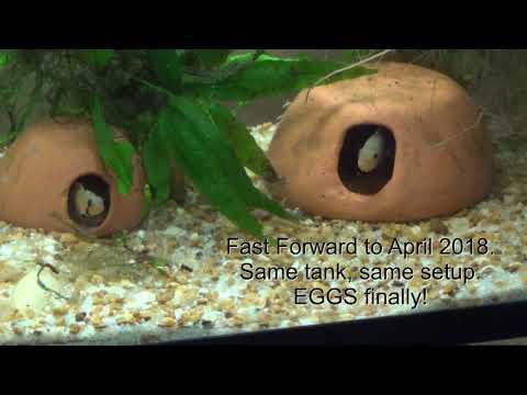 Apistogramma panduro pair with eggs