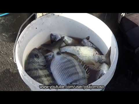 Fishing silver bream, Pesca sargo,Pesca de dorada,Pêche à la brème d'argent, الدنتلة الفضة الصيد