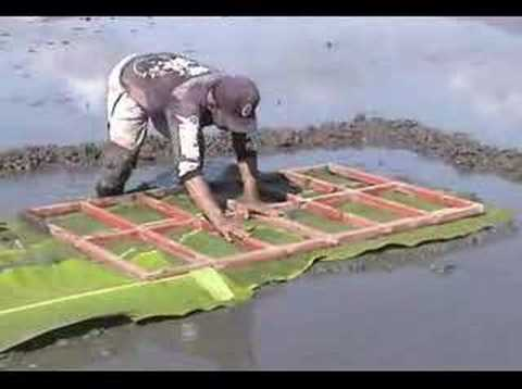Establishing a modified mat nursery for rice