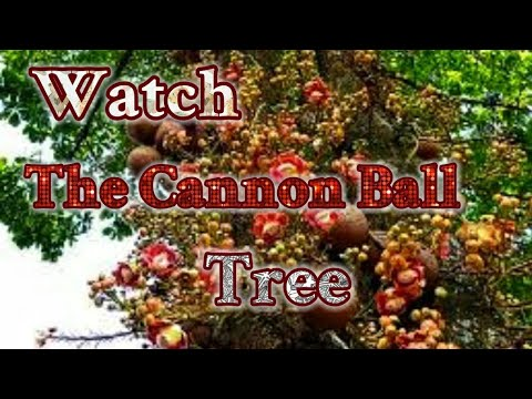 CANNONBALL TREE : A Highly Auspicious Flowering  Tree.