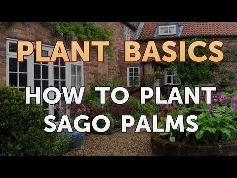 How to Plant Sago Palms