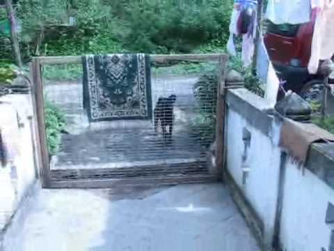 Dog jumps gate to enter the house