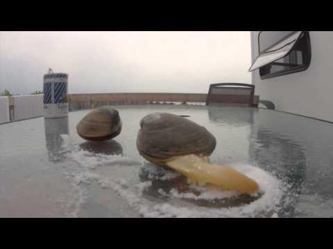A Big Clam in Nova Scotia (Quahog) Bar Clam