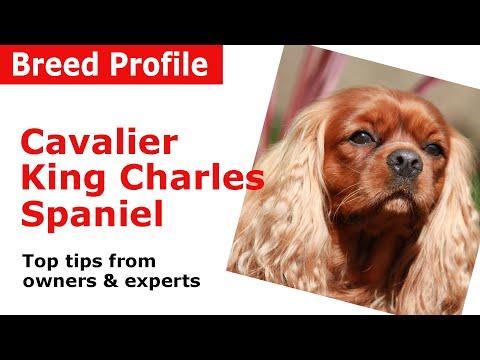 Cavalier King Charles Spaniel Dog Breed Advice