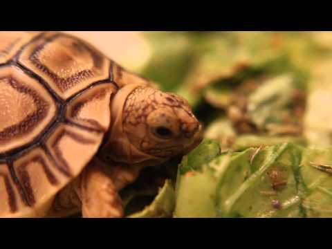 My baby Leopard Tortoise eating