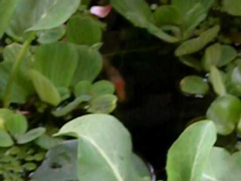 Pond fish.AVI