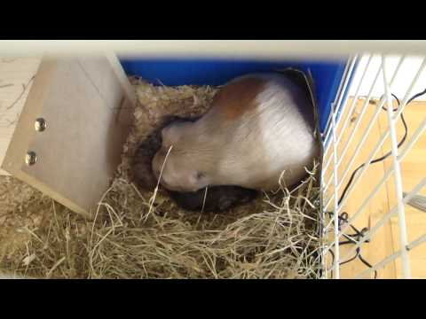 guinea pig giving birth! 3.7.11