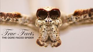 True Facts: The Ogre Faced Spider