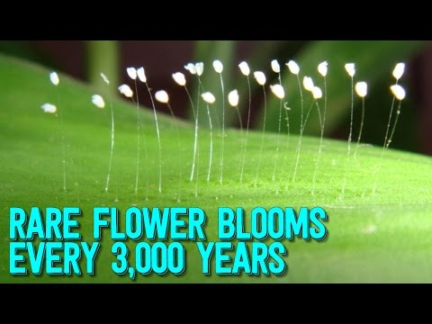 MYSTERIOUS Flower That Blooms  Every 3,000 YEARS Spotted Across Globe