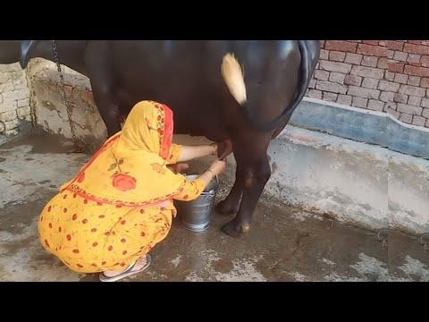 Neelam beautiful nili buffalo 26 liter milk daily in punjab village
